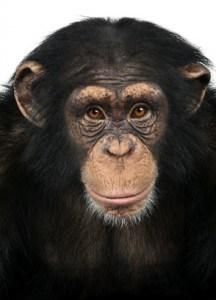 Close-up of a Chimpanzee looking at the camera, Pan troglodytes NutriShield Multi Vitamins and Minerals