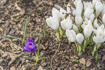 One violet crocus among many white