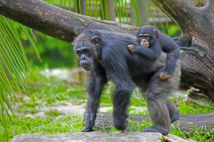 No.4 How many hairs do we have on our body compared to a chimpanzee? NutriShield Multi Vitamins and Minerals