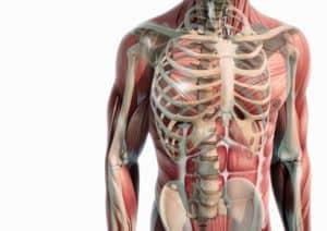 Oberkörper Anatomie Muskeln und Knochen NutriShield Multi Vitamins and Minerals